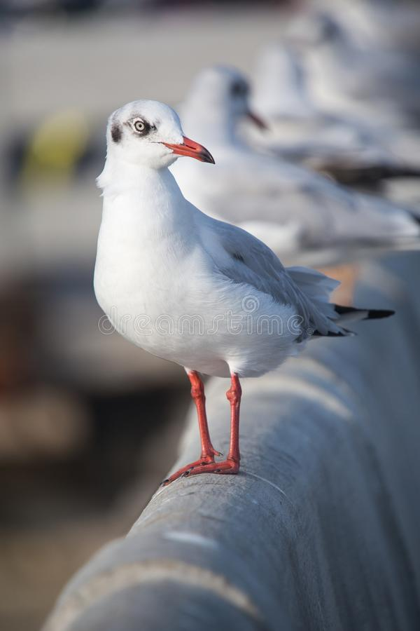 Slender-billed Gull flying royalty free stock images