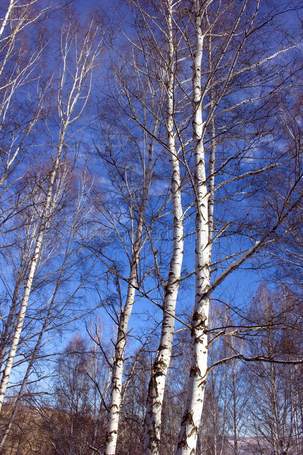 High birches aspire into the sky royalty free stock photo