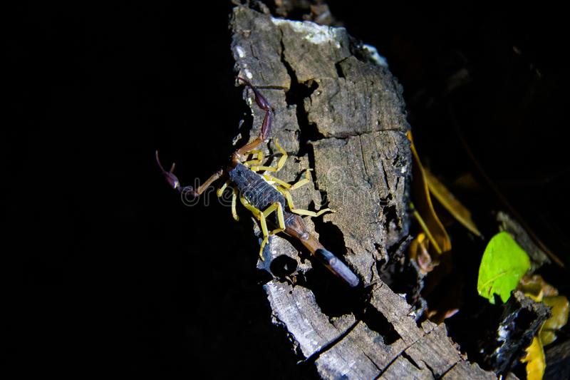 Wildlife: A Slender Brown Scorpion is seen in the jungles of Guatemala. Slender Brown Scorpion Centruroides gracilis is a species in the family Buthidae, the royalty free stock image