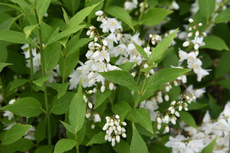 Slender deutzia blossoms stock photography