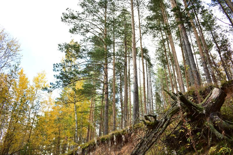 Slender forest of pine on the cliff, birch, green grass, tree roots, blue sky. Clouds royalty free stock images