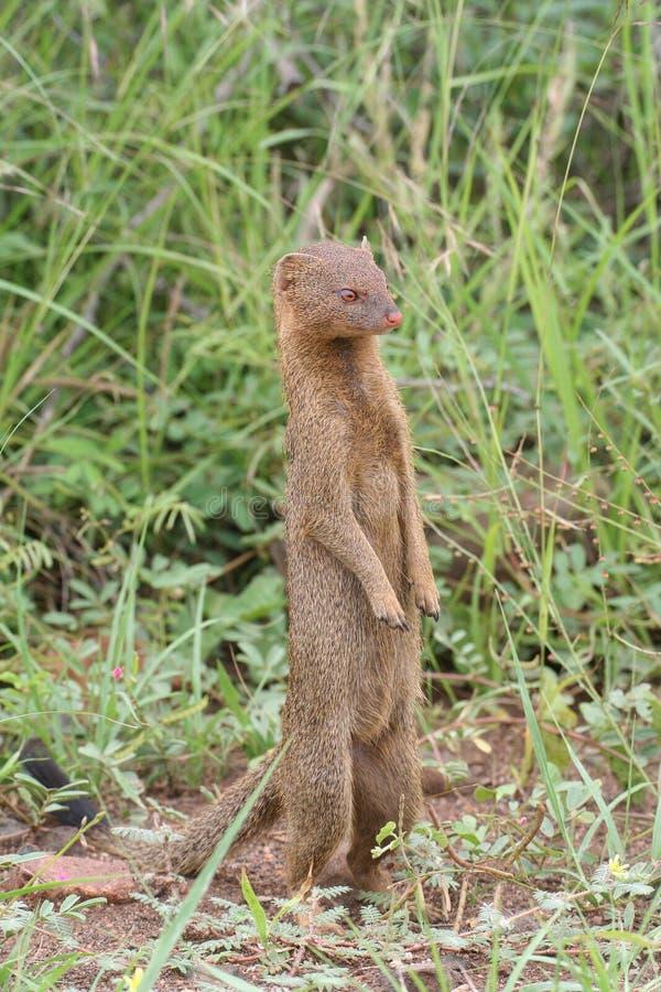 Download Slender mongoose stock photo. Image of predator, slender - 24416164