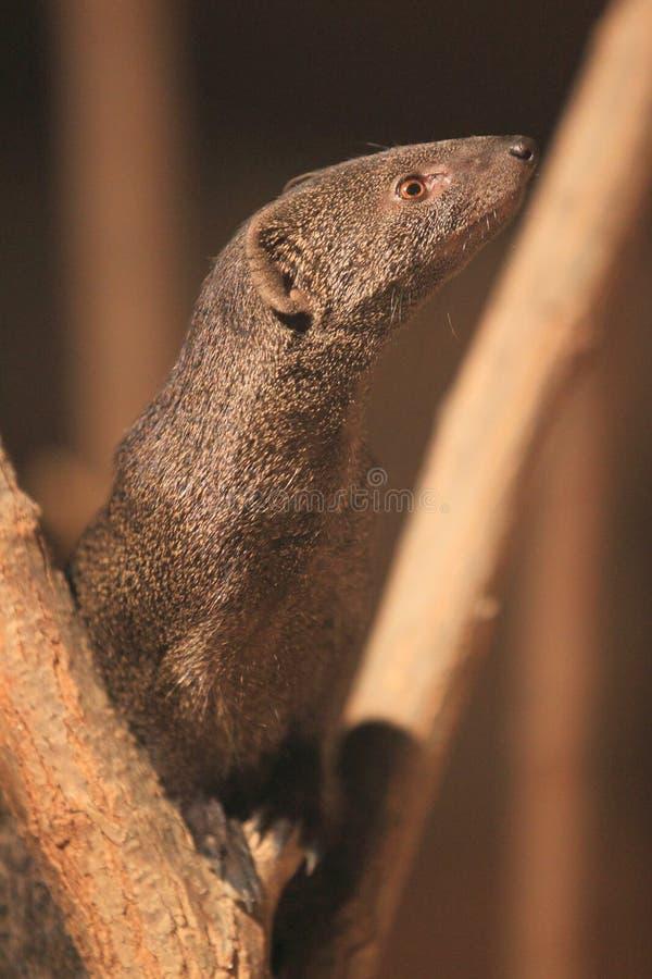 Download Slender Mongoose Royalty Free Stock Photography - Image: 27870827