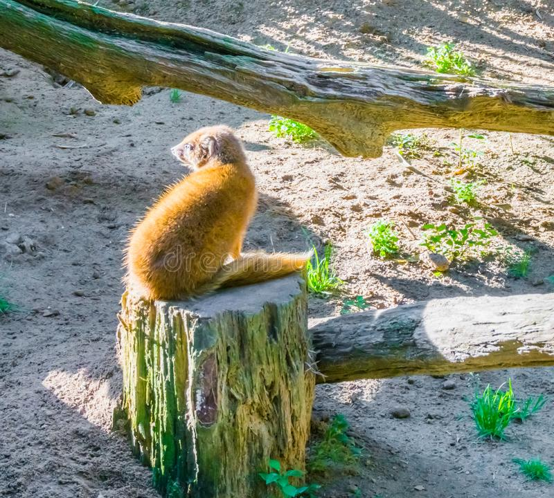 Slender mongoose sitting a tree stump and looking backward in closeup desert animal portrait royalty free stock photos