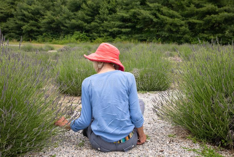 Slender older woman in dark pink hat sitting in garden picking lavender royalty free stock photos