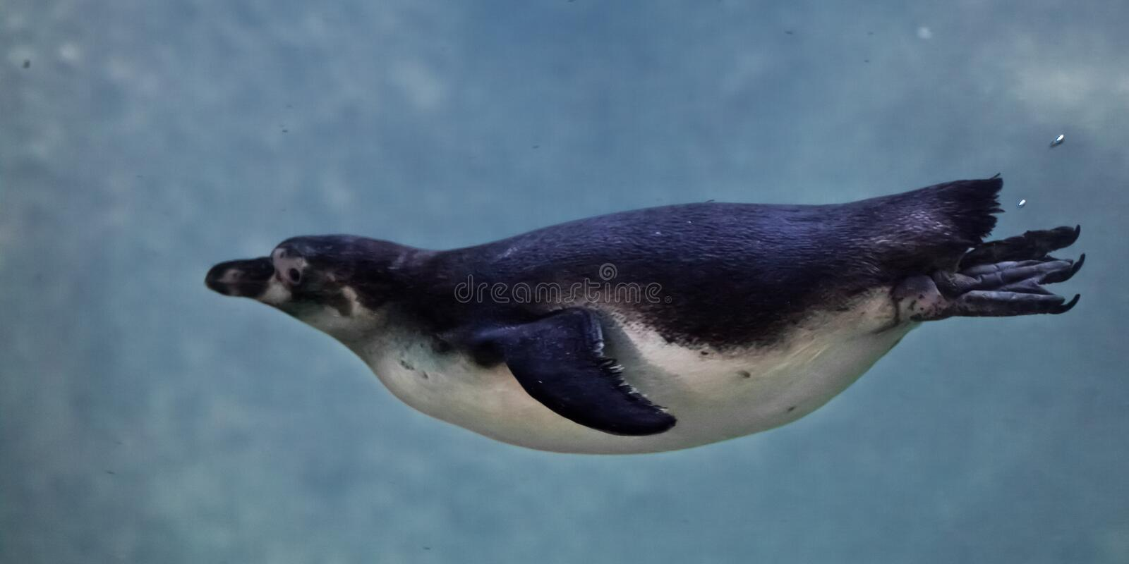 Slender penguin purposefully swims in blue water in the water column, as if flying stock photo