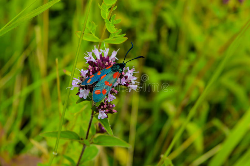 A Slender Scotch Burnet Moth. In a field of summer flowers royalty free stock photo
