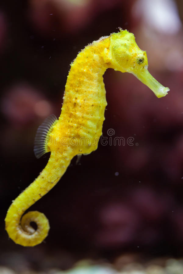 Free Slender Seahorse (Hippocampus Reidi). Royalty Free Stock Photos - 78952868