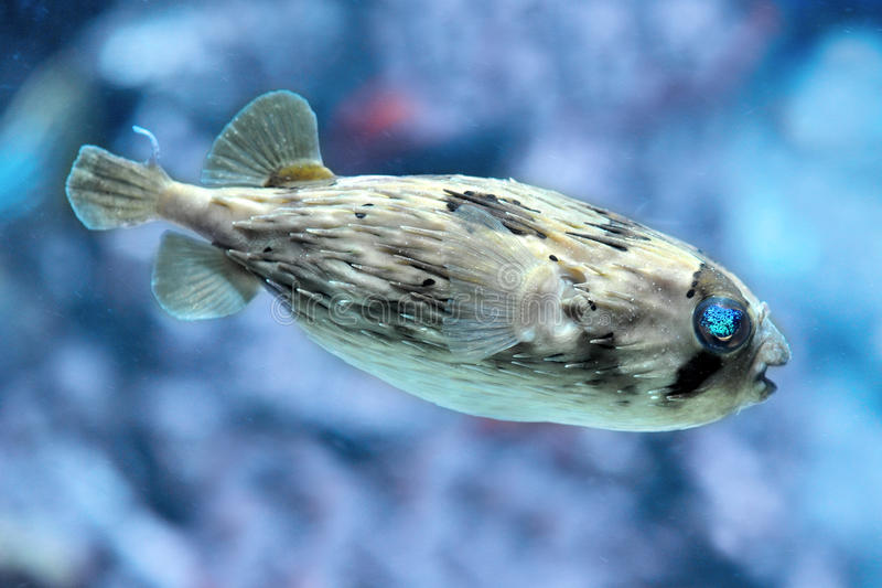 Download Slender-spined Porcupine Fish Stock Photo - Image of tetraodon, nicthemerus: 23193160