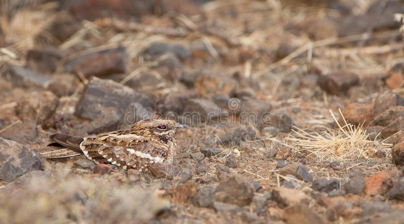 Slender-tailed Nightjar on the ground. The Slender-tailed Nightjar (Caprimulgus clarus) is able to stay unseen till it is stepped upon thanks to it's perfect royalty free stock photography