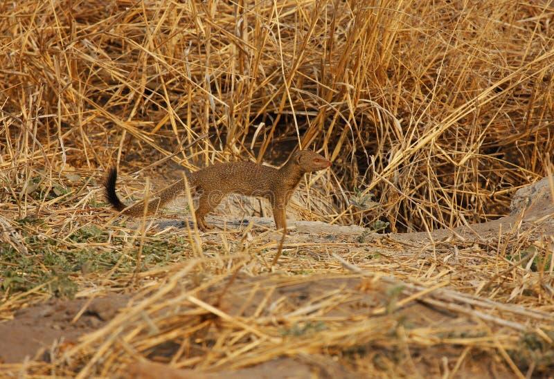 Slenderly doet het M. Mongoose! stock foto