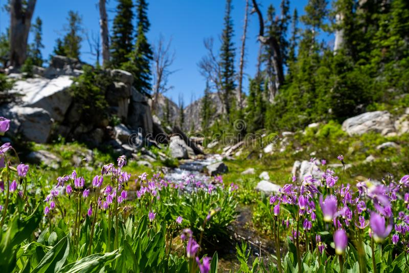 Slepen vallende ster purpere wildflowers bij de basis van een kreek langs het Zaagtandmeer in Idaho stock fotografie