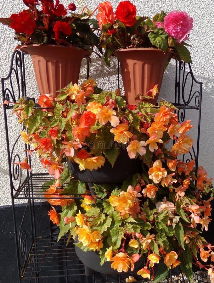 Slepende Abrikoos Begonia Flowers stock foto's