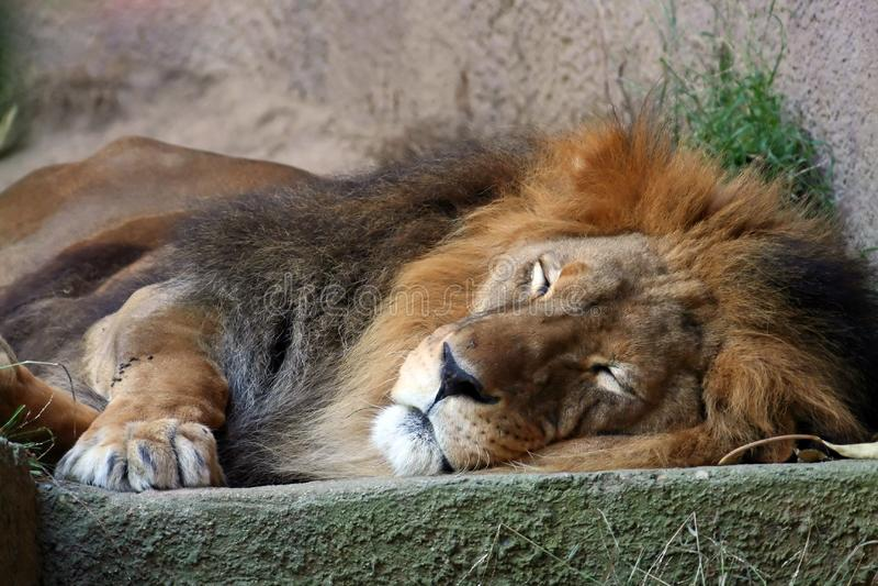 Sleping Löwe lizenzfreies stockfoto