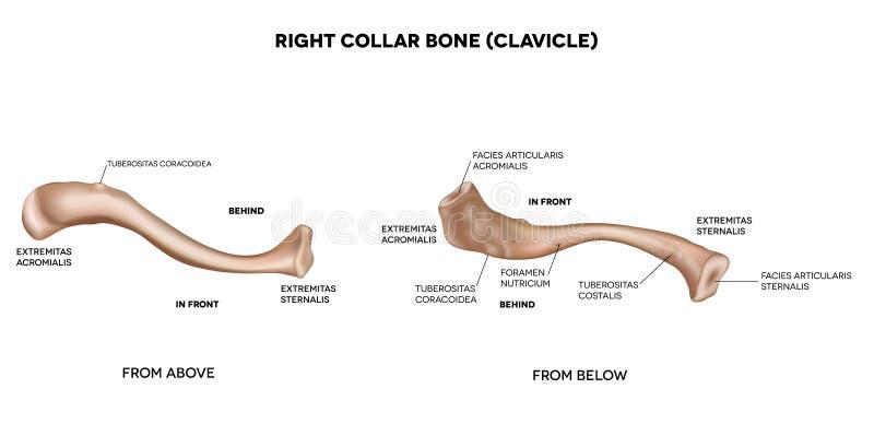Sleutelbeen (sleutelbeen) stock illustratie