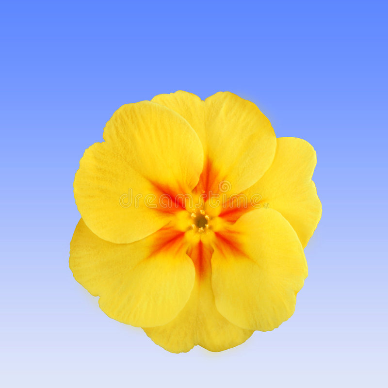 Sleutelbloem Flowerhead royalty-vrije stock foto