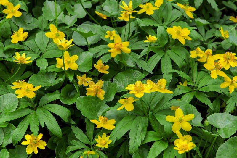 Sleutelbloem gele bloemen (Anemonoides ranunculoides) royalty-vrije stock afbeeldingen