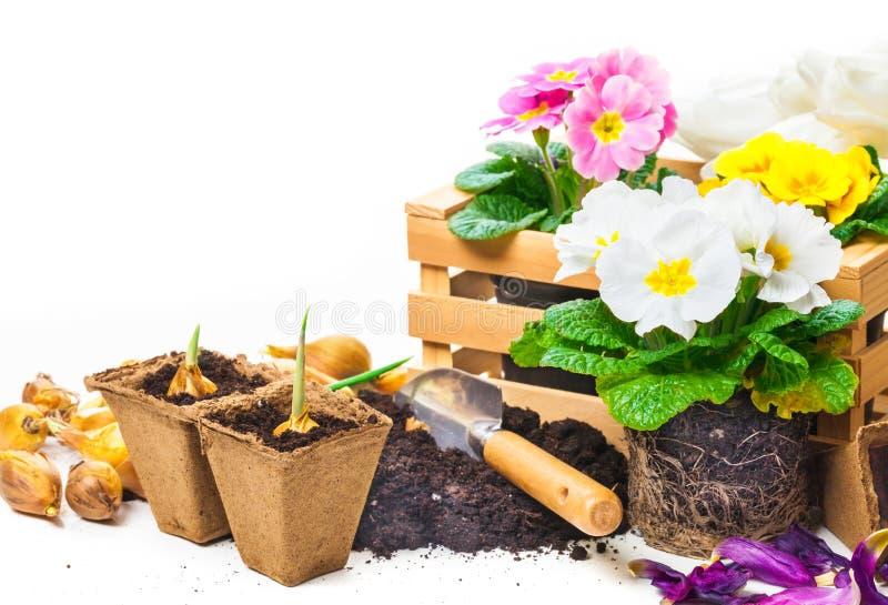 Sleutelbloemen, het tuinieren, de lentebloemen stock fotografie