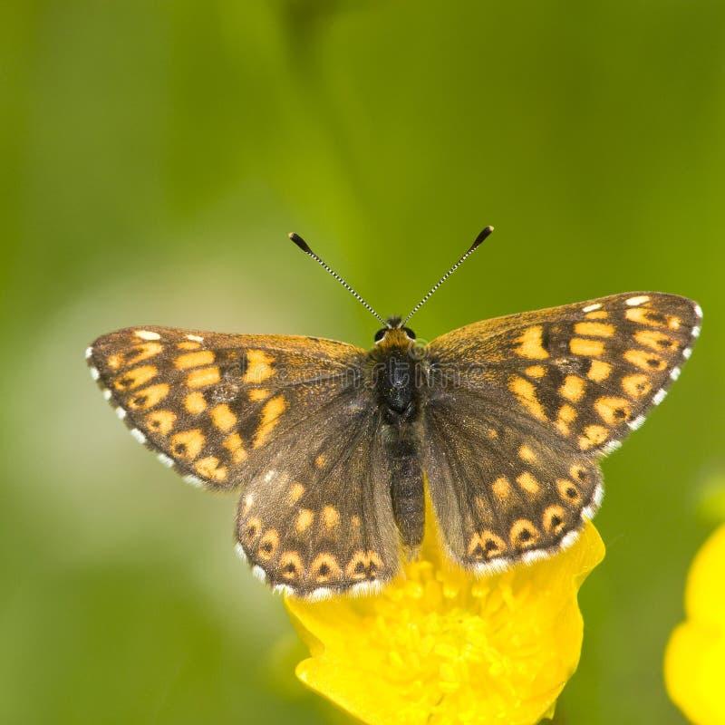 Sleutelbloemvlinder, diuk Burgundy Fritillary, Hamearis lucin obrazy stock