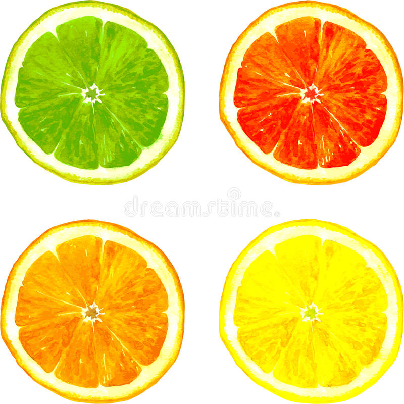 Slice of citrus fruits drawing by watercolor. Slice of four citrus fruits drawing by watercolor, lime,lemon,orange and grapefruit, hand drawn vector illustration stock illustration