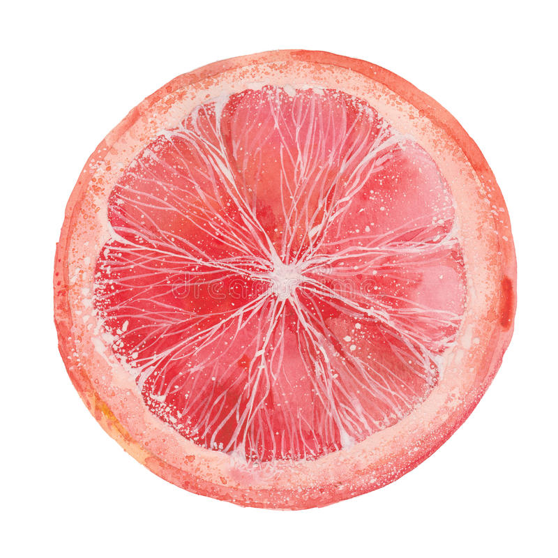 Slice of grapefruit. Watercolor illustration on a white background royalty free stock images