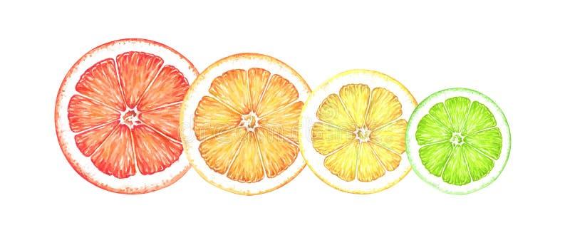 Slices of ripe citrus fruits isolated on white background. Hand drawn watercolor illustration of grapefruit, orange, lemon, lime . stock illustration