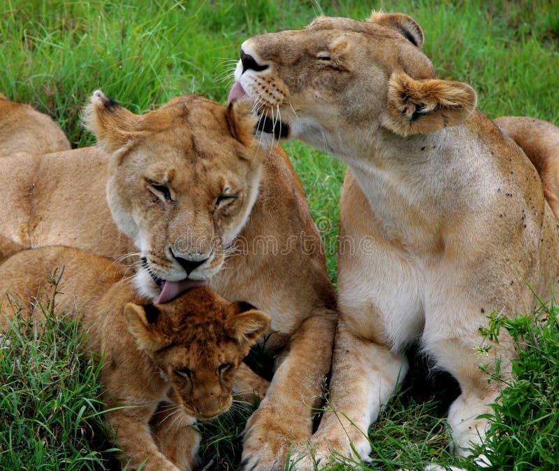 slicka lions fotografering för bildbyråer