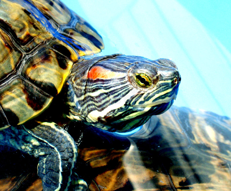 Download Slider stock image. Image of natura, front, turtle, eyes - 182663