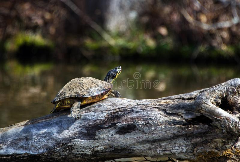 Slider Turtle basking on a log in Hard Labor Creek State Park, Georgia. Slider Turtle basking on a log over Lake Rutledge in Hard Labor Creek State Park, Georgia royalty free stock photo