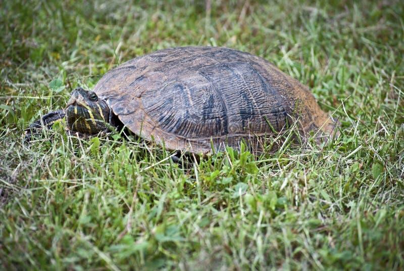 Download Slider Turtle Closeup stock image. Image of slow, woods - 21443199
