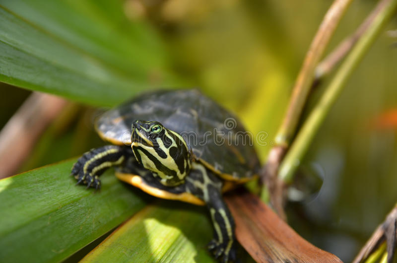 Slider turtle. Yellow bellied slider turtle in a mediterranean pond royalty free stock photography