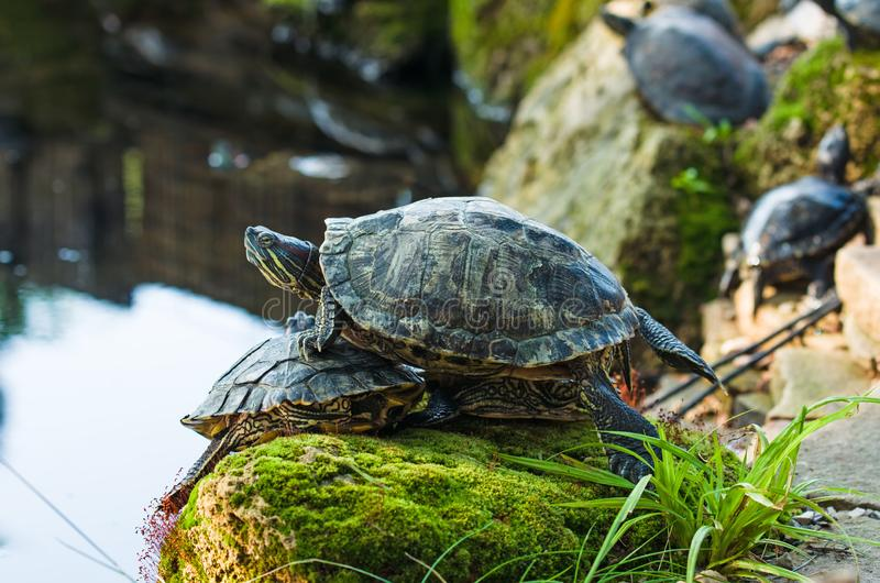 Slider turtles. Turtles on the stone overgrown with moss royalty free stock photos