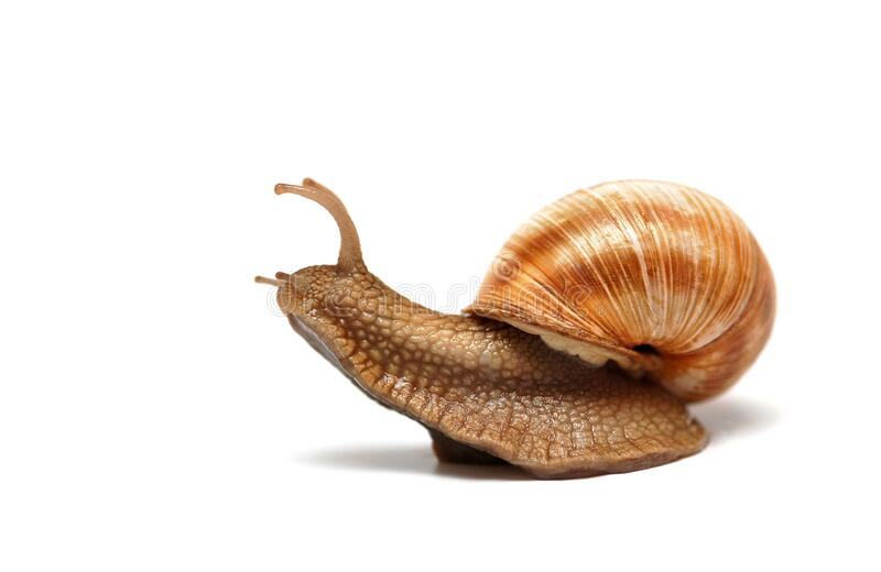 Sliding snail on white stock image