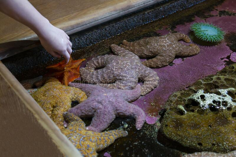 A slight downward view of a small child`s arm/hand moving toward starfish is a tidal pool hands on educational exhibit royalty free stock images