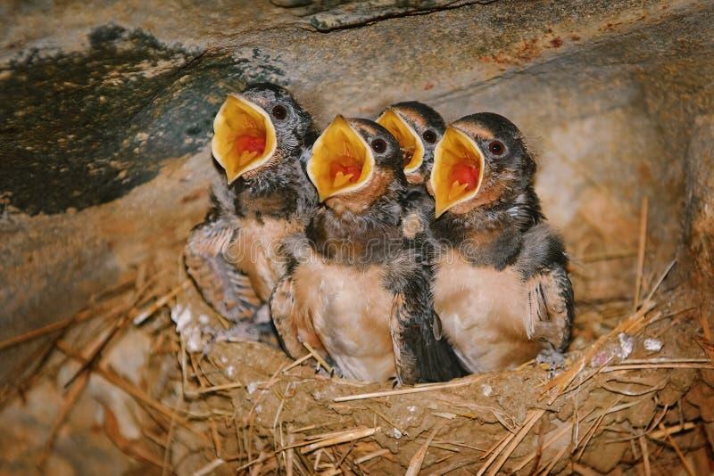 Slik Birdlings met Open Bekken stock afbeeldingen