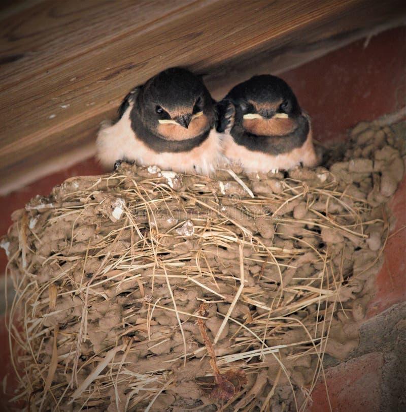 Slik kuikens in een nest royalty-vrije stock foto