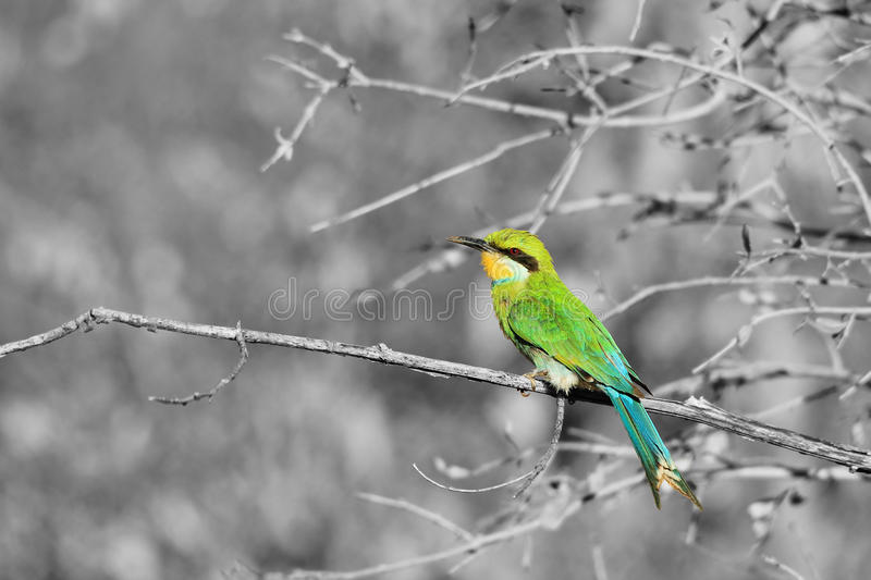 Slikken-de steel verwijderde van Bijeneter - Afrikaanse Wilde Vogelachtergrond - Kleurrijke Aard royalty-vrije stock afbeelding