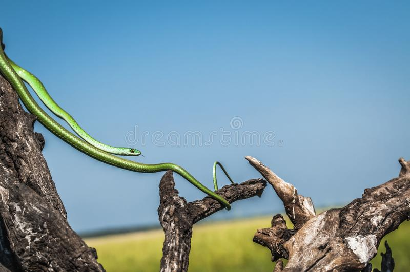 Slim green snake, stretched between dead tree branches royalty free stock photo