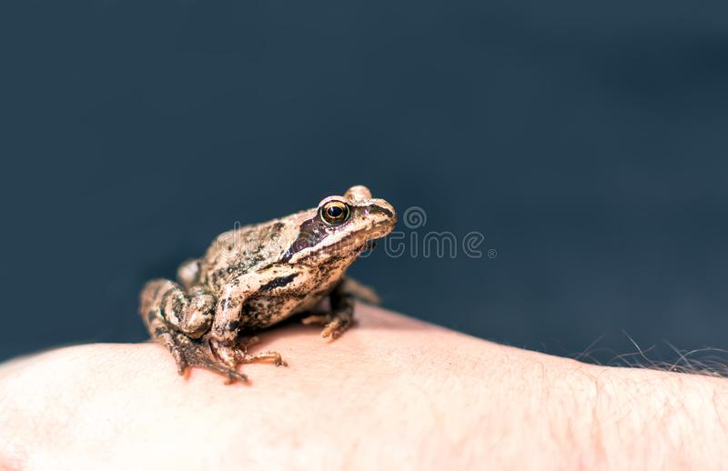 Moor frog Rana arvalis sitting on a man`s hand. Slim, reddish-brown Moor frog Rana arvalis sitting on a man`s hand. This semiaquatic amphibian is a member of the stock images