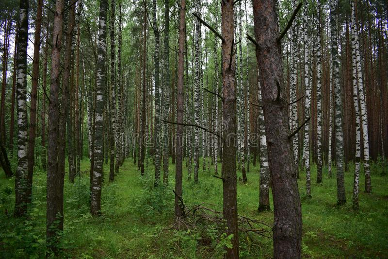 Slim smooth birch pine grove of deciduous conifers. Delicate and light green bright and colorful in summer royalty free stock photo