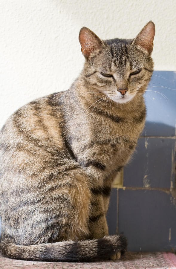 Slim young tabby female housecat. Portrait of relaxed looking young female housecat sitting royalty free stock photo
