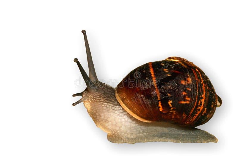 slimey慢的蜗牛 免版税图库摄影