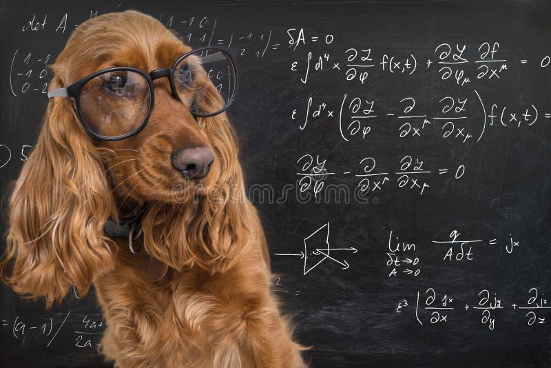 Slimme grappige hond die oogglazen dragen Wiskundevergelijkingen op bord op achtergrond stock afbeelding