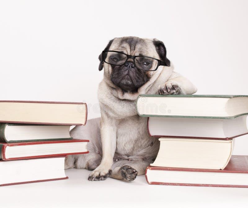 Slimme intelligente pug puppyhond met lezingsglazen, zitting neer tussen stapels van boeken stock foto's