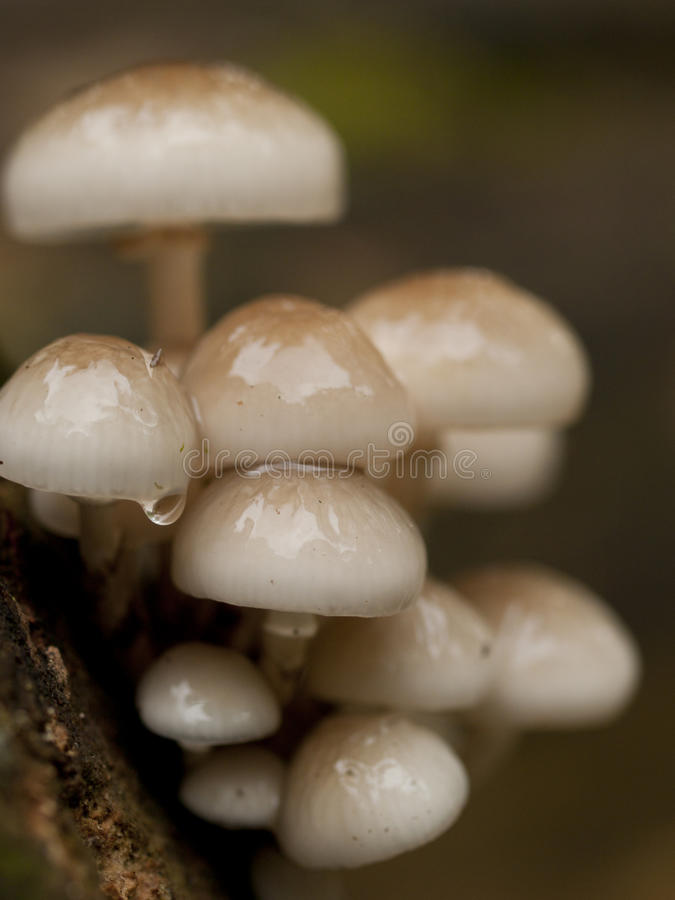 Slimy looking porcelain fungus. (Oudemansiella mucida) growing on a dead tree stock photo