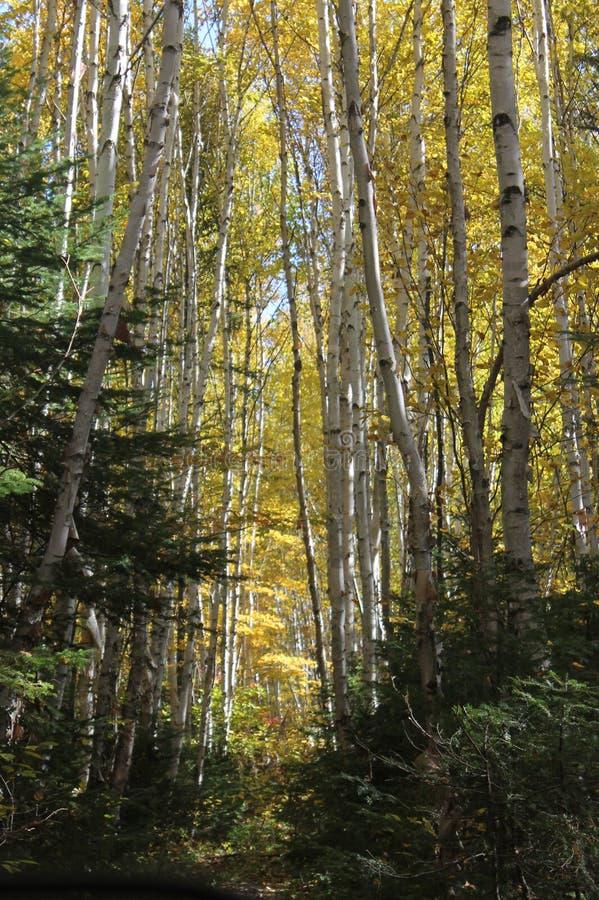 Slinga för björkträd i höst fotografering för bildbyråer