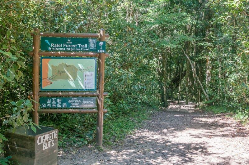 Slinga till det 1000 åriga yellowwoodträdet royaltyfri bild