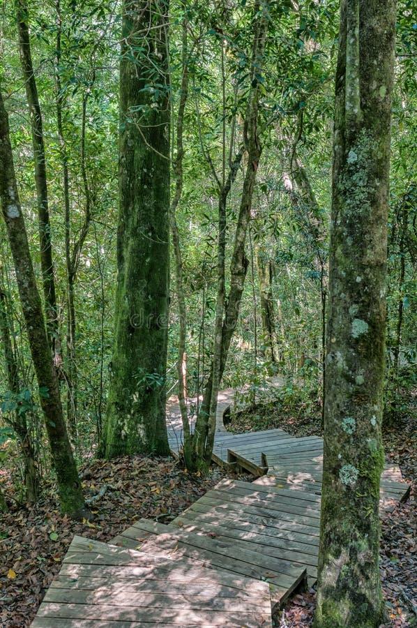 Slinga till det 1000 åriga yellowwoodträdet royaltyfri foto