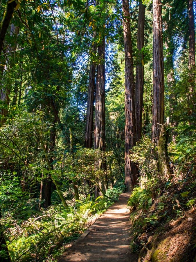 Slinga till och med redwoodträd, Muir Woods, Kalifornien royaltyfri fotografi