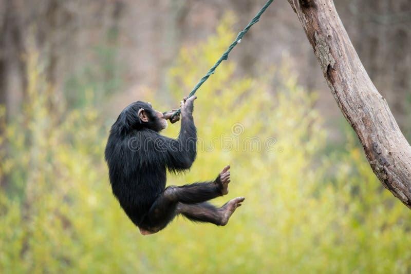 Slingerende Chimpansee V stock fotografie